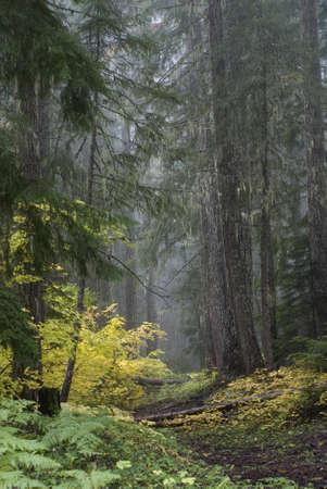 Pfad durch den Wald aus Pinien und Herbst gelb Weinstock Ahornbäume an einem nebligen Morgen. Standard-Bild - 11243759