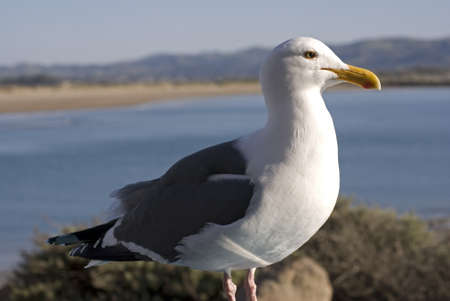 Seagull portrait against Morro Bay, California