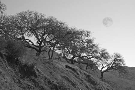 gnarled: Bare, gnarled trees on a winter hillside in black and white with the full moon  Stock Photo