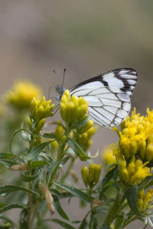 pollinator: A checkered white butterfly  Pontia protodice  feeding on yellow flowers   Sharp focus on eye of butterfly   Shallow depth of field  Stock Photo