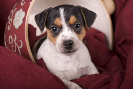 Horizontal portrait of a cute tri-colored Jack Russell Puppy in an upturned oversized teacup with red tones