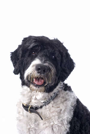 Head study of a black and white Portuguese Water Dog