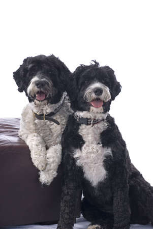 A studio shot of two black and white Portuguese Water Dogs against a white background  Stock Photo