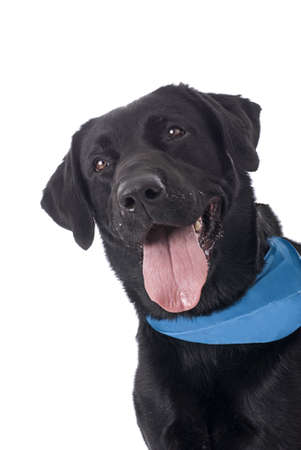 A sweet and happy Black Labrador Retriever with a blue bandana on a white background  Stock Photo