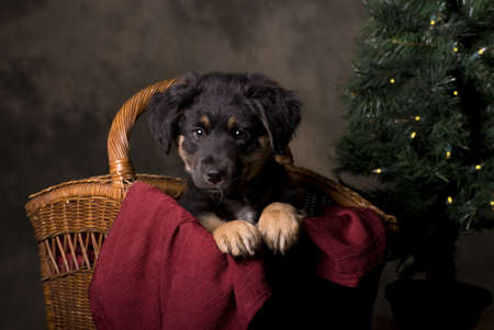 Horizontal studio shot of a 6 week old German Shepherd puppy in a Christmas basket