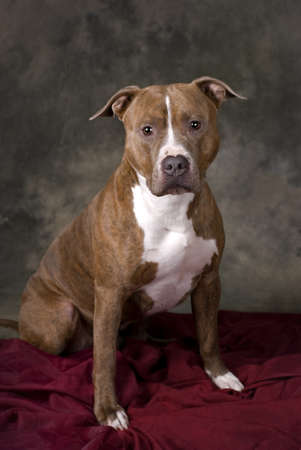 Vertical studio shot of a Pit Bull against a mottled green background