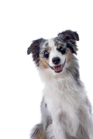miniature breed: Tiro del estudio de una de ojos azules, azul merle Miniature Australian Shepherd