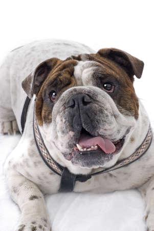 Studio shot of a cute, happy English Bulldog, on a white background