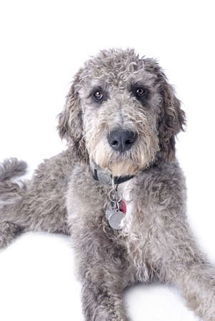 poodle mix: Studio shot of a mixed breed, Great Dane Poodle cross on a white background Stock Photo