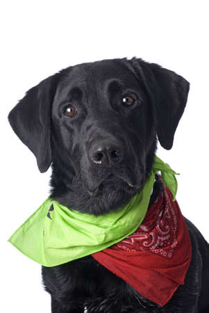 A studio headshot of a cute Black Labrador Retriever on a white background  photo