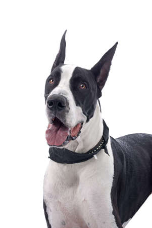 Head and shoulder study of a black and white Great Dane against a white background