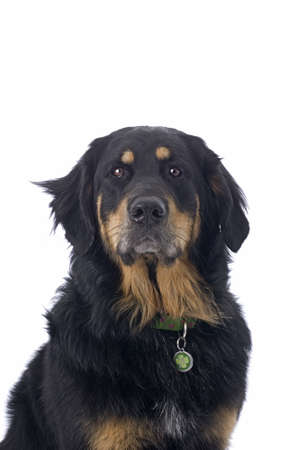 Head and shoulder study of a black and tan mixed breed dog against a white background