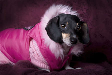 Close up horizontal studio shot of a black and tan Dachshund wearing a pink sweater and coat
