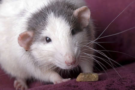 Close up horizontal shot of a domestic gray and white rat looking into the camera