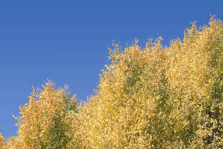 Horizontal abstract image of Quaking Aspens changing from green to yellow against a bright blue sky