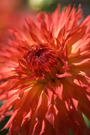Macro shot of a brilliant red dahlia flower in the field  Shallow depth of field Stok Fotoğraf