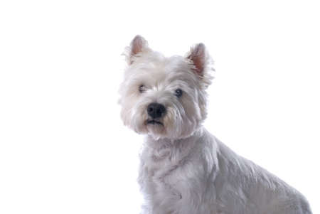 An adorable West Highland White Terrier against a white background