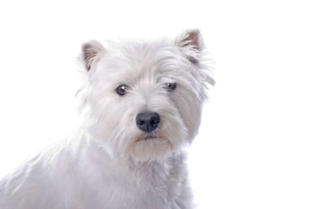 cute westie: An adorable West Highland White Terrier against a white background