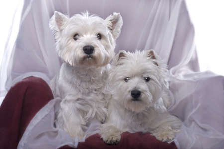 Two adorable West Highland White Terriers in a chair against a white background