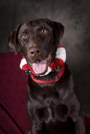 Vertical image of a head and shoulders view of a beautiful, Chocolate Lab looking into the camera