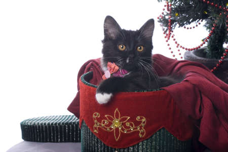 cuddled: Horizontal image of a cute black kitten cuddled up in a red and green velvet Christmas gift box on a white background