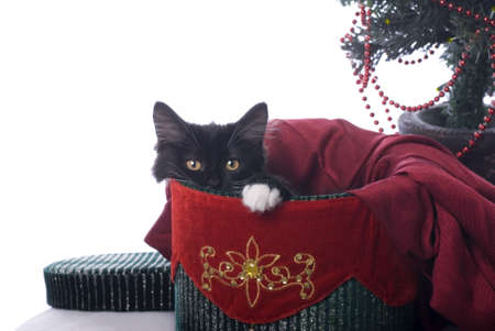 Horizontal image of a cute black kitten with a white pay, cuddled up in a red and green velvet Christmas box