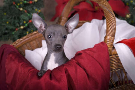 Horizontal image of a six month old blue Chihuahua puppy in a basket with Christmas tree and poinsettias in the background