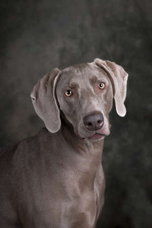 Vertical studio head and shoulders image of a beautiful Weimaraner dog on a dark toned green and gray background  Stock Photo