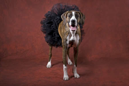 Horizontal image of a mixed boxer dog wearing a black tutu on a rust-orange background as a Halloween animal theme