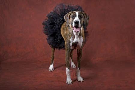 animal tutu: Horizontal image of a mixed boxer dog wearing a black tutu on a rust-orange background as a Halloween animal theme