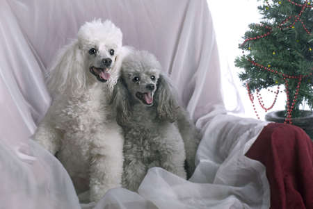 Horizontal image of a white poodle and a silver poodle in a high key studio setting with a Christmas theme