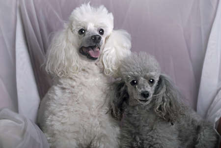 A horizontal close up portrait of a white miniature poodle and a gray toy poodle against a soft, white drape