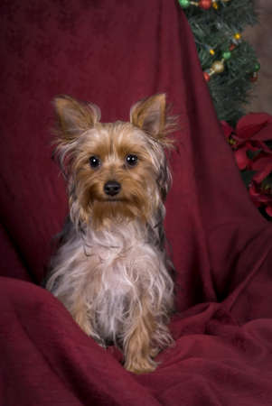 Vertical image of a six month old Yorkie at Christmas in a studio setting