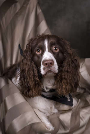 Vertical studio shot of a beautiful Springer Spaniel in greens, browns and gray tones  Stok Fotoğraf
