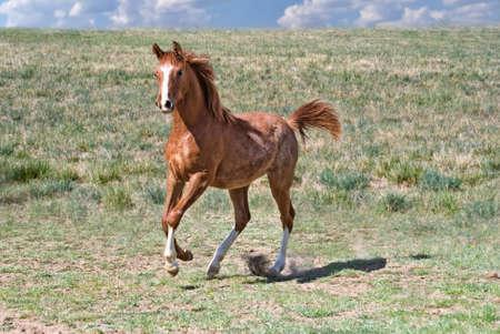 Arabian Foal Galloping in a Field