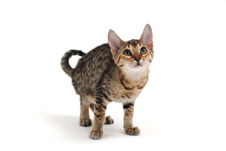 Purebred smooth-haired cat on a white background