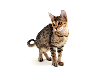 Purebred smooth-haired cat on a white background Banque d'images
