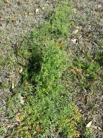green weeds surrounded by brown dormant grass