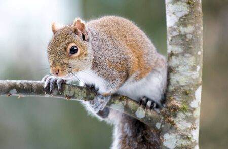 A grey and red squirrel on an alder tree branch