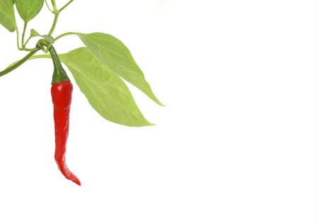 habanero: Red hot chili pepper plant on white background Stock Photo