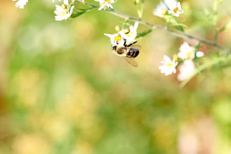 Beautiful honey bee pollinating bright white flower photo