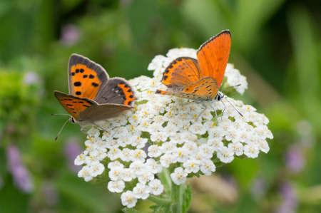 Orange butterflies Lycaena virgaureae drink nectar on a white wild flower