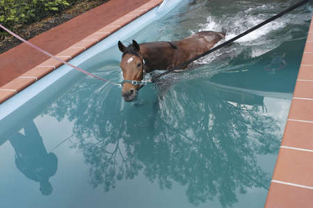 bloodstock: swimming horse in horses swimming pool