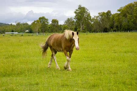 grassing: horse walking in green paddock