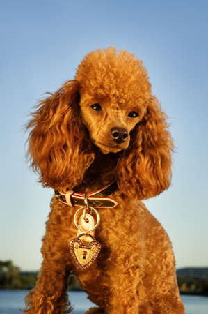 the well groomed: well groomed poodle