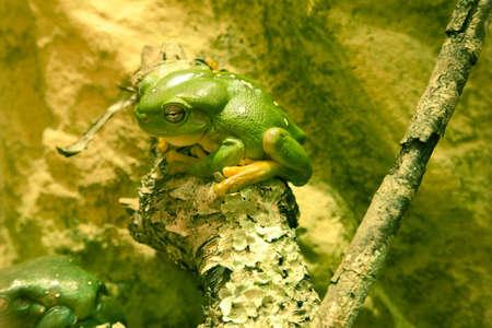 arboreal frog: Rana verde sentado en la rama