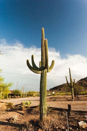 Massive Saguaro cactus plant in the Arizona desert on a sunny afternoon photo