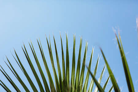 fan palm tree leaves with blue sky in the background photo