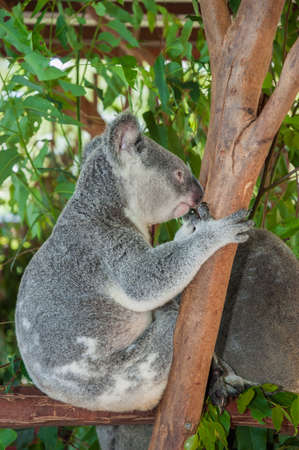 fluffy: Fluffy koala sitting in a tree