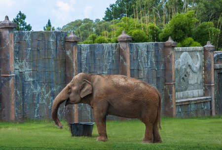 enclosure: Asian elephant drinking water in its enclosure in a zoo